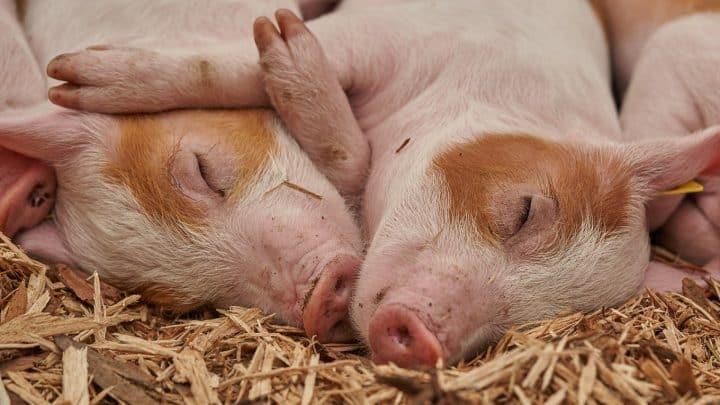 L'élevage des porcs sans pesticides et sans antibiotiques