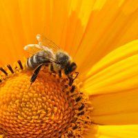 Les bienfaits du pain d'abeilles