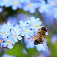 La culture du chanvre peut être bonne pour les populations d'abeilles